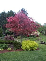 tri color beech tree problems tri colored beech with lime