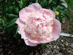 Peonies For Sale Peonies For Sale At Dutch Peonies Bc Canada пионы