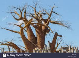 baobab tree boab boaboa tree west africa stock photo