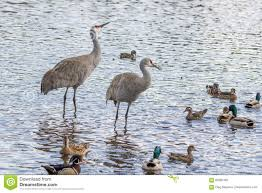 american crane in the water stock photo image 69382465