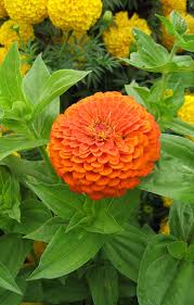 zinnias flowers zinnia elegans benary s orange buy online at s annuals