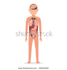 Anatomy Of Human Body Organs Rectum Stock Images Royalty Free Images U0026 Vectors Shutterstock