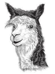 sketch of a alpaca u0027s face stock vector image of fine 62062297