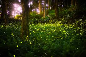 How Do Fireflies Light Up Details About The Synchronous Elkmont Fireflies Event In The Smoky