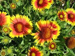 gaillardia pulchella fire wheel world of flowering plants