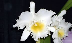 cattleya orchids about orchids basic orchid care for beginners cattleya or laelia