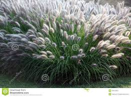 ornamental grass moudry stock photos image 23872893