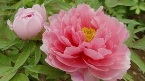 peony flowers genetic forebears of tree peony king of flowers nearly extinct