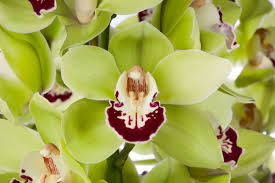 cymbidium orchids cymoreflavour cymbidium orchids top quality cymbidium from