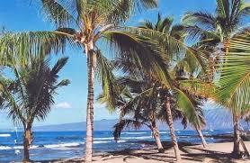 4 hawaiian sprouting coconut tree plants grow hawaii ebay