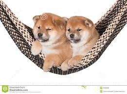 two adorable shiba inu puppies in a hammock stock photo image