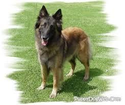 belgian sheepdog training guide belgian tervuren puppies breeders tervurens