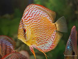 145 best ornamental fish betta images on aquarium