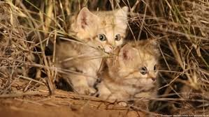 Cats In Small Spaces Video - watch first video of sand cat kittens romping in the wild smart