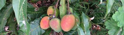 Mango Boom mango tree cottage los llanos de aridane la palma la palma