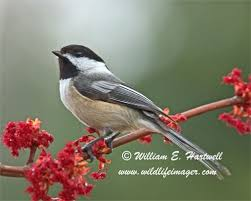 Nc Backyard Birds 21 Best Birds Of North Carolina Images On Pinterest Beautiful