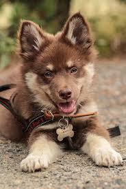 belgian shepherd x alaskan malamute precious puppy maybe alaskan malamute german shepherd mix