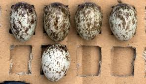tree sparrows recognize foreign eggs in their nests