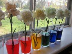 carnations food coloring u003d rainbow flowers what a cool science