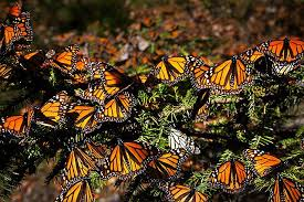 environmentalists petition to put the monarch butterfly on the