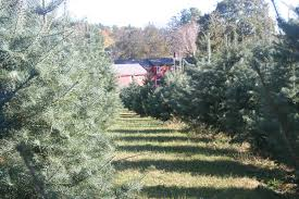 christmas christmas tree farm farms near meriden ct memphis