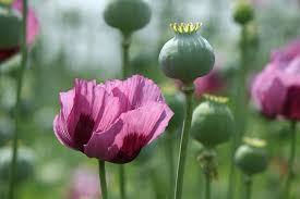 massive poppy bust why home grown opium is rare