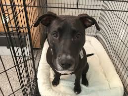 crate training crate training and tips to help a lab pit mix stop chasing the