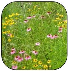 wildflowers for new england meadows cooperative extension