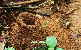 Ants In Backyard Where Do Ants Live Wonderopolis