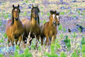 mustang horse canadian wild horse foundation the ancient heritage of horses