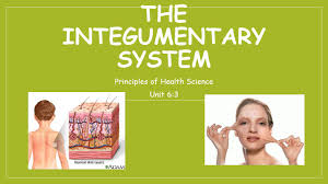 human integumentary system gallery human anatomy image