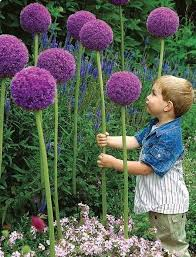 allium flowers purple allium flower 30 seeds gardenelysium