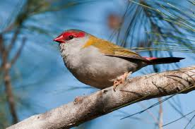 red browed finch birds in backyards
