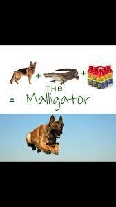 belgian malinois 101 youtube 90 best dogs images on pinterest