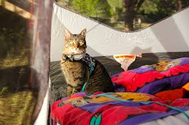 camping with cats the ultimate guide u2013 adventure cats
