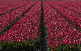 photos tulip season in the netherlands is well under way and it u0027s