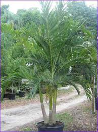 small palm trees lowes home design ideas