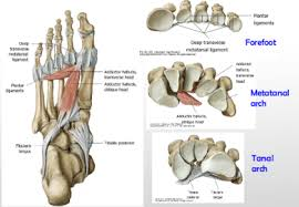 Foot Ligament Anatomy Ankle And Foot Joints At Kansas City University Of Medicine And