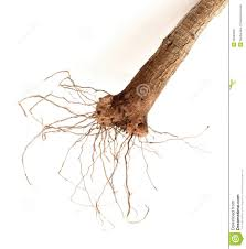detail of roots dracaena fragrans royalty free stock photo