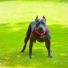 land of giants american pitbull terriers the biggest pitbull in the world worlds biggest red nose breed