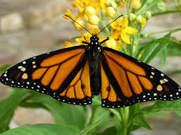 florida native butterfly plants attracting monarch butterflies