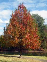 73 best best trees for alabama images on alabama