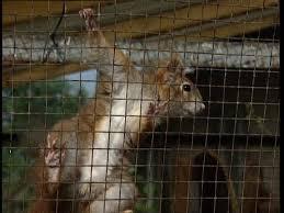 gabbie scoiattoli scoiattolo allevamento rm clip 478 427 834 in sd framepool