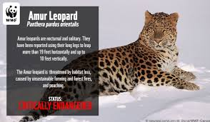 a fact card about amur leopards from the world wildlife federation