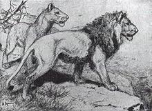 asiatic lion wikipedia