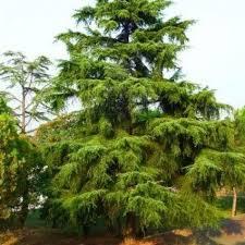 deodar cedar trees nature nursery