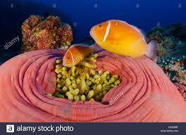 underwater scene of palau coral reefs anemone anemone fish