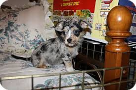 australian shepherd puppies california lacy u0027s babies females adopted puppy california city ca