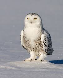 white owl 2 wallpapers animals snowy owl 1280x853px u2013 100 quality hd wallpapers