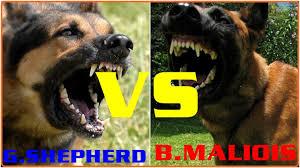belgian shepherd kinds german shepherd vs belgian malinois compare of size and power